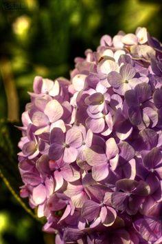 "tuomisheyingquanzhou: ""紫色的绣球花在大叻花园之内。 Purple hydrangeas at the Da Lat Flower Gardens. """