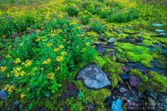 Wildflowers on Logan Pass, Glacier National Park, Montana USA / Click image to purchase a print or license