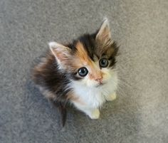 Cali The Orphan Kitten Saved By A Vet - Love Meow
