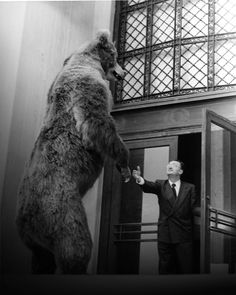"""This 1952 photo shows habitat preparator Mel Lincoln """"welcoming"""" a 9 ft. tall Kodiak Bear to its new home at NHM. The bear, found later to be the biggest Kodiak on record,  remained on display in the North American mammal hall until the 1980s."""