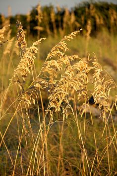 sea-oats on Tybee Island, GA