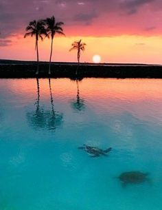 Turtles swimming in the ocean as the sun sets over a palm tree. #Turtle #PalmTree #Beach #Summer #Sunset #SummerSunset #Sun #Sky