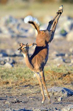Un Impala qui Joue les Ballerines