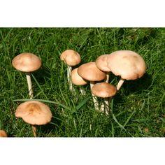 See full indentification information and photos Wild Mushrooms, Stuffed Mushrooms, Fairy Ring, Slime Mould, Mushroom Fungi, Edible Plants, Agriculture, Harvest, Wildlife