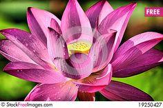 Free Lotus Flower Royalty Free Stock Photography - 19250427