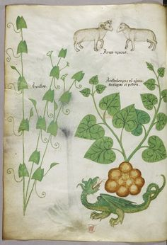 """Tractatus de Herbis (ca.1440) Selections from a beautifully illustrated 15th century version of the """"Tractatus de Herbis"""", a book produced to help apothecaries and physicians from different linguistic backgrounds identify plants they used in their daily medical practise. No narrative text is present in this version, simply pictures and the names of each plant written in various languages. miniatures of plants, sheep, and a dragon."""