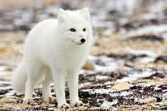 Facts about Arctic Fox tell you about one of the unique animals in the world which can live well in the cold area. The body of arctic fox is unique for they are Most Beautiful Animals, Unique Animals, Beautiful Creatures, Cute Animals, Arctic Fox Facts, Arctic Animals, White Fox, Wild Dogs, Stuffed Animals