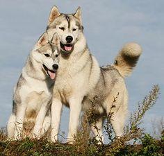 Raising a Siberian Husky Puppy to be Healthy