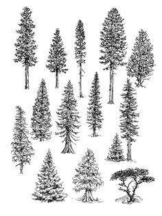 Various trees - drawings by Claudia Nice