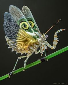 amazing wings....Spiny Flower Mantis, Native to Africa, the Spiny Flower Mantis is one to two inches long and varies in color, being typically green, but it can also be yellow,...