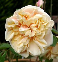 ~Gloire de Dijon - an old (1850) rose of outstanding beauty and scent. Very floriferous in early summer, before a gap of no flowers followed by a small number later in the summer.