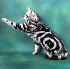 American Shorthair Cat Classic Silver Tabby - American Shorthair - Ideas of American Shorthair - American Shorthair Cat Classic Silver Tabby The post American Shorthair Cat Classic Silver Tabby appeared first on Cat Gig. Pretty Cats, Beautiful Cats, Animals Beautiful, Cute Animals, Silver Tabby Cat, American Shorthair Cat, British Shorthair, Orange Tabby Cats, Warrior Cats