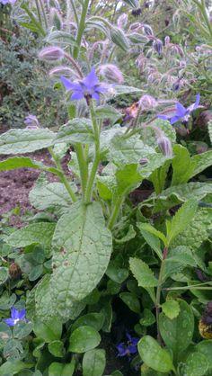 Bourrache, Borago officinalis BORAGINACEES Septembre 2013 Diurétique, dépuratif, émolliente 2013, Gardens, September, Earth, Plant