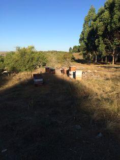 Cosechando en Tupambaé, Cerro Largo, Uruguay