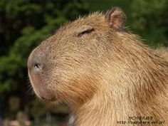 Capybara,  I would totally get one!  (my first pet was a guinea pig)