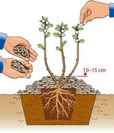 Heidelbeerstrauch einpflanzen Zeichnung