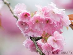 Prunus avium 'Plena' Prunus, Cherry Blossom, Flowers, Gardens, Outdoor Gardens, Peach, Royal Icing Flowers, Cherry Blossoms, Flower