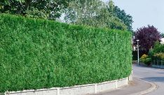 Need a privacy hedge right away? These are the best fast-growing privacy hedges that you can plant to achieve a tall, dense hedge very quickly. Privacy Hedges Fast Growing, Fast Growing Hedge, Shrubs For Privacy, Privacy Trees, Arborvitae Landscaping, Landscaping Along Fence, Backyard Landscaping, Landscaping Ideas, Backyard Privacy