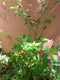 Birdseye  chilli