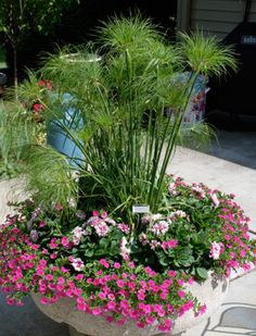 It grows in water or soil, indoors or out. The Papyrus (Cyperus) is a versatile plant that is easy to grow and fun to propagate...
