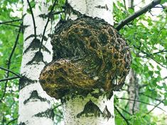 Qu'est-ce Que le Chaga ? Different Recipes, Rubrics, Cabbage, Herbs, Fruit, Vegetables, Image, Food, Stone