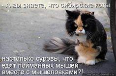 - А вы знаете, что сибирские коты настолько суровы, что едят пойманных мышей вместе с мышеловками?!