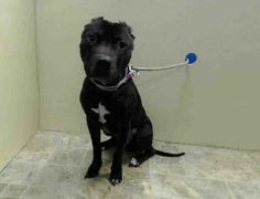 TO BE DESTROYED - 04/26/14 Brooklyn Center   BO - A0992758  MALE, BLACK / WHITE, PIT BULL MIX, 1 yr STRAY - STRAY WAIT, NO HOLD Reason STRAY  Intake condition NONE Intake Date 02/28/2014, From NY 11208, DueOut Date 03/03/2014,  https://www.facebook.com/photo.php?fbid=764949326851282&set=a.617941078218775.1073741869.152876678058553&type=3&theater