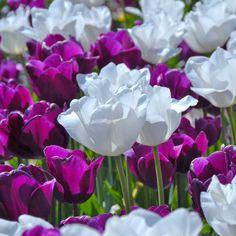 """Tulpenmischung """"Mood Indigo"""" - zwei Tulpen, die zusammen noch schöner aussehen als einzeln. Perfekt aufeinander abgestimmte Blumenzwiebelmischungen gibt es bei www.fluwel.de. Pflanzzeit ist im Herbst."""