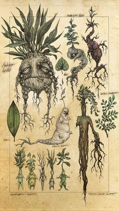 A mock botanical illustration of mandrakes. In the world of Harry Potter, when the mandrake root is dug up it screams and kills all who hear it. Art And Illustration, Botanical Illustration, Halloween Illustration, Botanical Drawings, Botanical Art, Fantasy Kunst, Fantasy Art, Illustrations Harry Potter, Illustrator