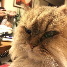 シュークリームが食べたいアピール中😋 I want a cream puff😽 #遠くに写る宇宙人達 #cat #cats #neko #ilovecat #persian #chinchilla #kitten #kittycat #cutecat #ilovemycat #catlife #猫 #ねこ #ねこ部 #愛猫 #チンチラ #チンチラゴールド #アラレ #ネコスタグラム  #ふわもこ部 #catoftheday #catsofworld #meow #catstagram #catsofinstagram