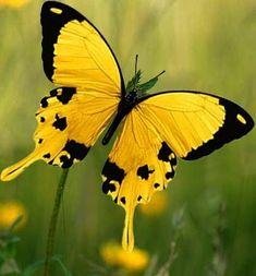 Butterfly Watercolor, Butterfly Wallpaper, Butterfly Flowers, Flying Flowers, Butterflies Flying, Beautiful Bugs, Beautiful Butterflies, Beautiful Creatures, Animals Beautiful