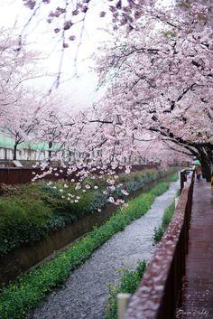 Sakura Bridge, South Korea - Shun Daddy 櫻花橋  pinterest : hyunnaosullivan