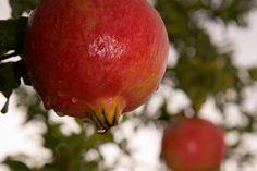 Propiedades de una fruta, La granada La granada es el fruto del granado…