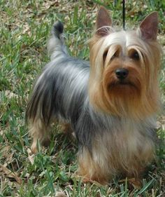 This guy looks a lot like our yorkie/rat terrier mix Ted, especially a few years ago when his back was darker. Except he rarely looks brushed (he hates it). Silky Terrier, Yorshire Terrier, Terrier Dog Breeds, Cute Puppies, Cute Dogs, Dogs And Puppies, Chug Dog, Australian Terrier, Yorkie Puppy