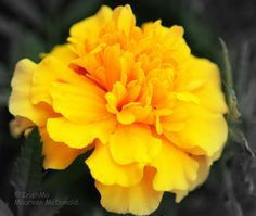 Perfect Marigold  By Maureen McDonald