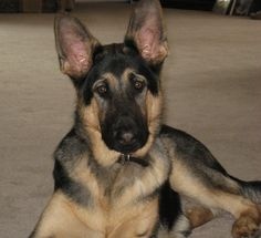Hunter the GSD at 8 months old.