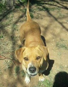 Birdie - URGENT - located at Clay County Animal Shelter in Henrietta, Texas - 7 year old Spayed Female Beagle Mix