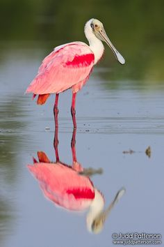Roseate Spoonbill in the  Everglades National Park, Florida, United States. - Reflection - by Judd Patterson