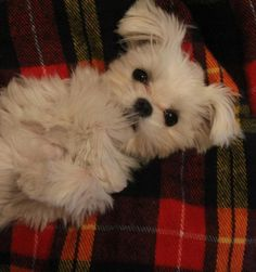 Maltese Pup...... Too much!