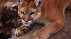 Bobcats, Cougars and Coyotes Get a Stay of Execution - A settlement of a lawsuit brought by WildEarth Guardians against United States Department of Agriculture Wildlife Services calls for it to stop killing predators on six million acres of public lands in Nevada. http://www.theverge.com/2016/10/14/13290024/wildlife-services-kill-animals-predators-lawsuit-settlement-nevada
