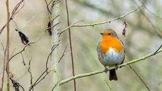 A robin at RSPB Fariburn Ings, West Yorkshire.