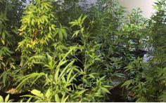 Ocupan cientos de plantas de marihuana en Canóvanas -...