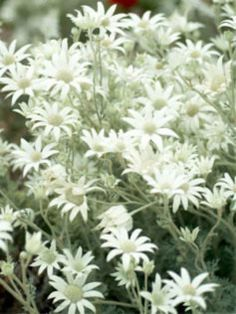 Flannel flowers look like daisies but are part of the carrot family (Apiaceae). The curious white, felt-like 'petals' are bracts surrounding the real flowers.    In their native habitat around Sydney they are opportunists, colonising burnt or disturbed areas. In the garden flannel flowers need good drainage, thriving in sandy soils in sun or part-shade.
