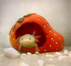 He's so cute in his little strawberry house!     Axolotl by maria.apoleika