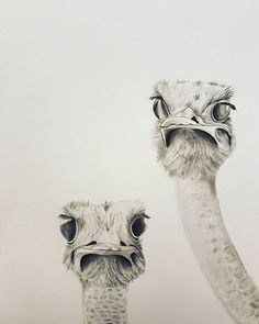 And then there were two #ostrich #selfie #birds #funimals #wip #pencilart #pencildrawing #pencilsketch #graphite #doodle #instaartist #instaart #sketch #sketchbook #sketchaday #instasketch #instadoodle #dailysketch inspired by a little #gem I found on #pinterest