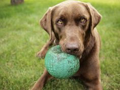 – Balls Finding the right sized ball for your dog is one of the most important things you'll ever need to do. Any ball, of any type, that can fit past your dogs front teeth is too small and poses … Animals Beautiful, Cute Animals, Dog Line, Shops, Dog Safety, Cool Pets, Dogs Of The World, Dog Grooming, Mans Best Friend