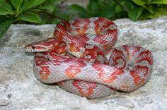 Motley Miami Phase Corn Snake