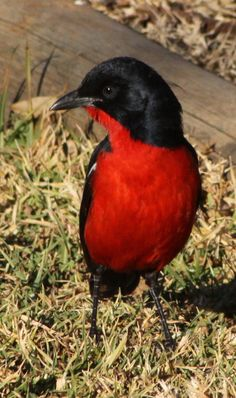 Crimson-breasted Shrike (Laniarius atrococcineus) is a southern African bird. The species is closely related to two other bushshrikes, the Yellow-crowned Gonolek and the Black-headed Gonolek of East Africa. This shrike is extremely nimble and restless, its penetrating whistles often being the first sign of its presence, although it is not a shy species...  by Derek Keats