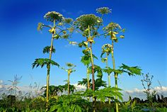 Beware Of Giant Hogweed: Dangerous Plant Spotted Across North America - Found in gardens, ditches, and even in parks; but avoid giant hogweed at all costs. The invasive plant is incredibly dangerous to those who touch it. Invasive Plants, Poisonous Plants, Giant Hogweed Plant, Dangerous Animals, Macabre, Botanical Gardens, Mother Nature, Hercules