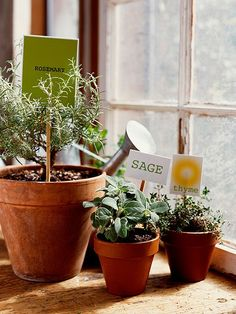 """Rosemary, Sage, Thyme - these herbs can get through the winter """"well watered in pots on a sunny windowsill, but put them outdoors in the spring for best growth."""" Depending on where you live, your herbs may be able to spend the winter outdoors.   • Buy seedlings instead of trying to sprout your own plants.  • Plenty of sunlight."""